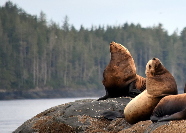 SEA LIONS,  JOHNSTONE STRAIT,  NORTHERN VANCOUVER ISLAND,  BC.