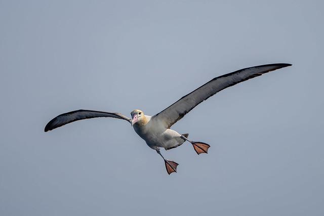 短尾信天翁 Short-tailed Albatross