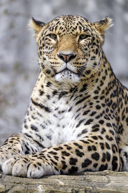 Leopard posing well