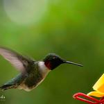Ruby Throated Hummingbird Feeding