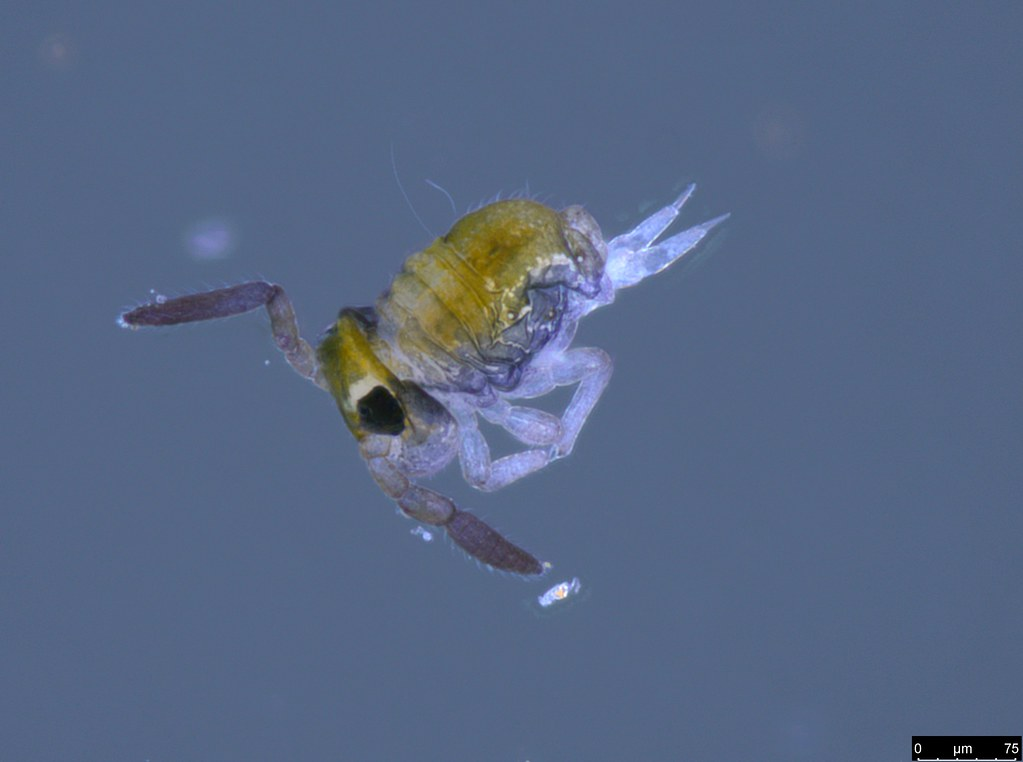 28 - Katiannidae sp.