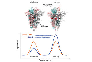 Supercomputer simulations at Los Alamos National Laboratory demonstrated that the G form of SARS-CoV-2, the dominant strain of the virus causing COVID-19, mutated to a conformation that allows it to more easily attach to host receptors, while also being more susceptible to antibodies than the original D form.