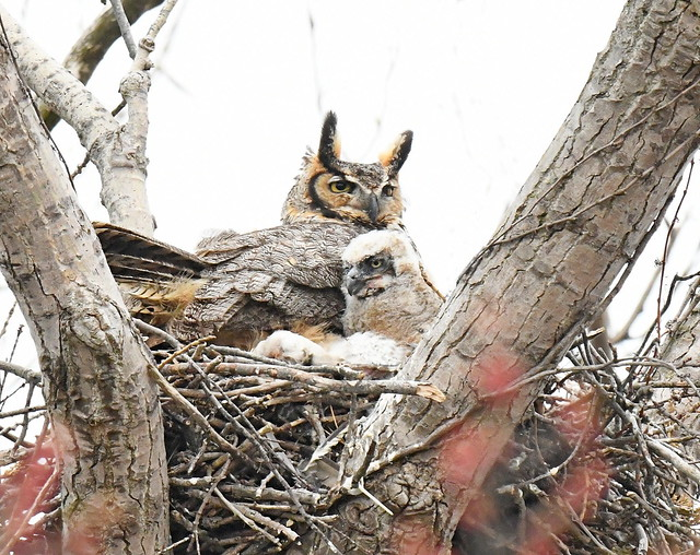 Great Horned Owl Mom with her Baby