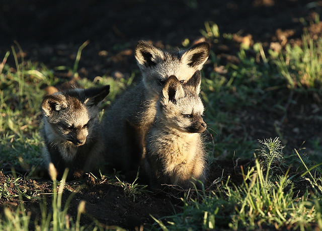 Bat eared fox cubs  at sunrise  – Masaï Mara - Kenya