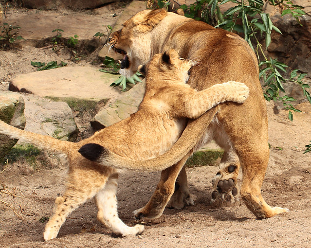 african lion Kianga, TiCuna   artis IMG_0711