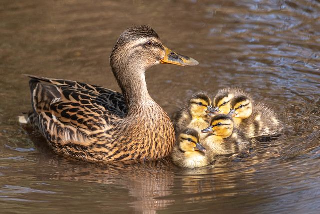 Mum with her ducklings.