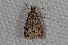 Scopari dominicki Moth