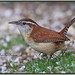 Backyard regular and sweet serenader - Carolina wren