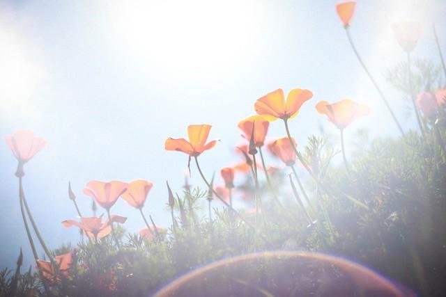 California Poppy #2