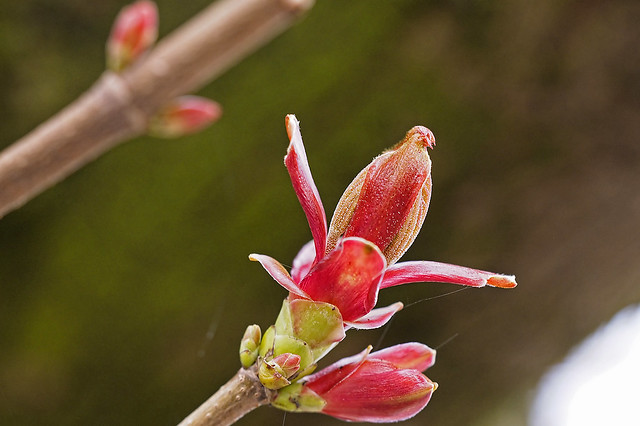 Pullulating field maple buds
