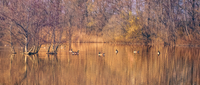 Canadian geese on a golden lake