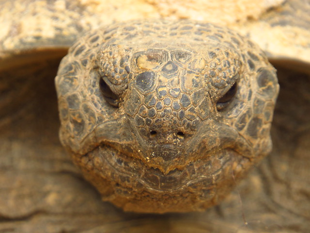 Gopher Tortoise Portrait