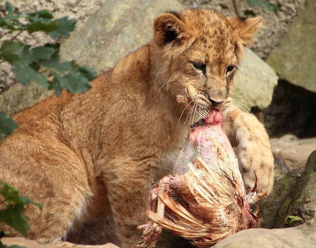 african lion Kianga artis IMG_0958