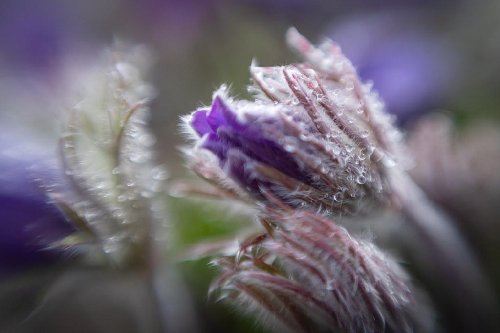 Pasque flower after a rain shower