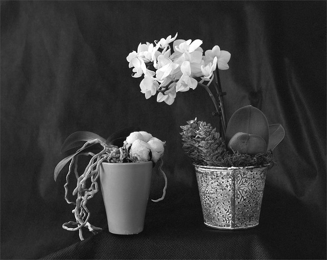 orchidé & coton