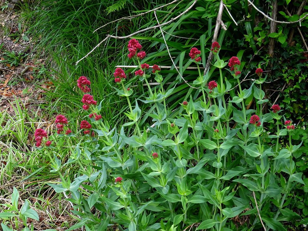 Valeriana rubra L. 1753 (CAPRIFOLIACEAE).