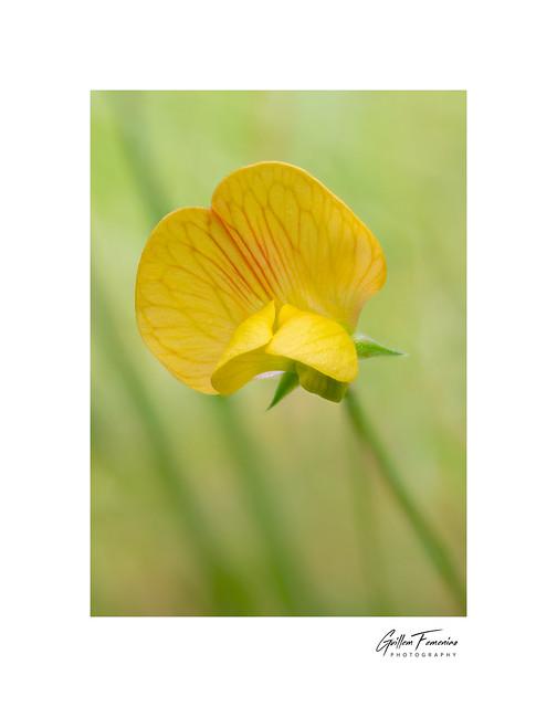 Colors of Spring (Lathyrus annuus)