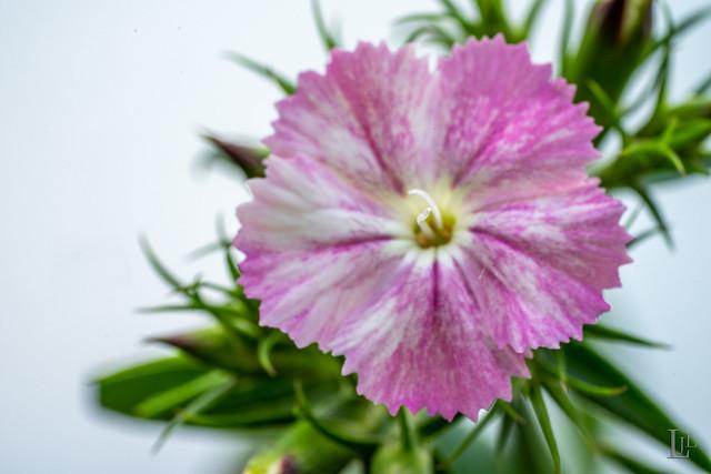 106/365 Flower