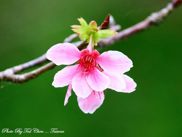 Prunus campanulata Maxim 山櫻花