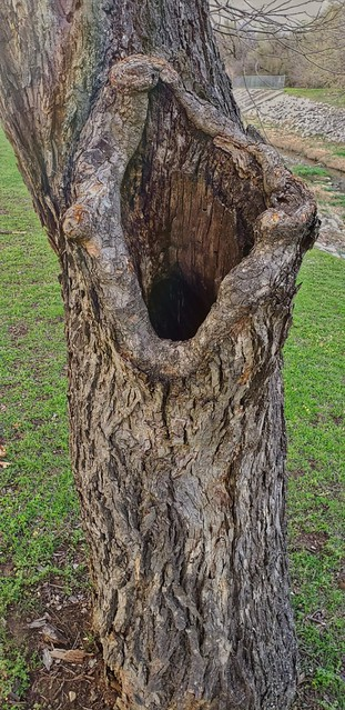 Hollow in a tree. Hurst. Texas