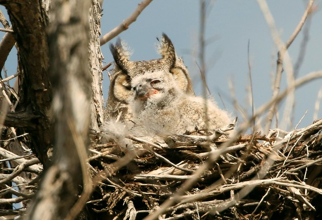 _87A7683 Great-horned Owl  Mother and Baby