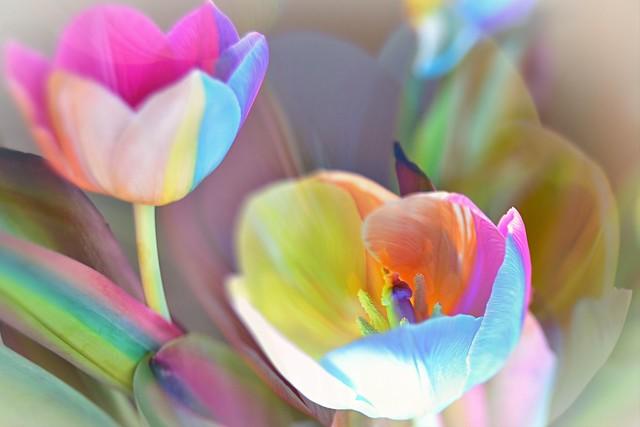 Regenbogen - Tulpen /// rainbow tulips