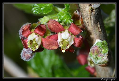 Cassissier (Ribes nigrum)