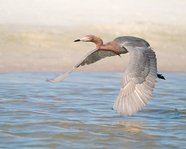 Reddish Egret (Explored, April 17, 2021)