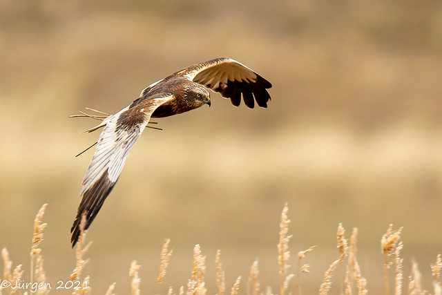 Rohrweihe  (Marsh Harrier)