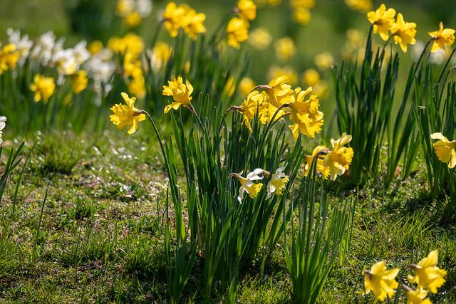 Berlin, Marzahn, historischer Dorfkern: Narzissen auf dem Dorfanger - Berlin, Marzahn, historic village centre: Daffodils and grape hyacinths on the Village Green