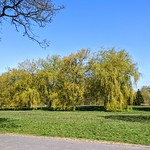 Willow trees at Haslam Park