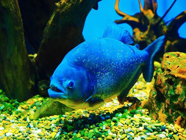 Shiny piranha