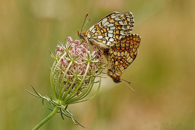 Couple Nymphalidae Melitaea ♀&♂