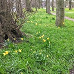Last of the daffodils at Ashton Park, Preston