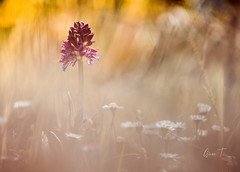 Orchidée Neotinea tridentata dans mon jardin et (sur explorer)