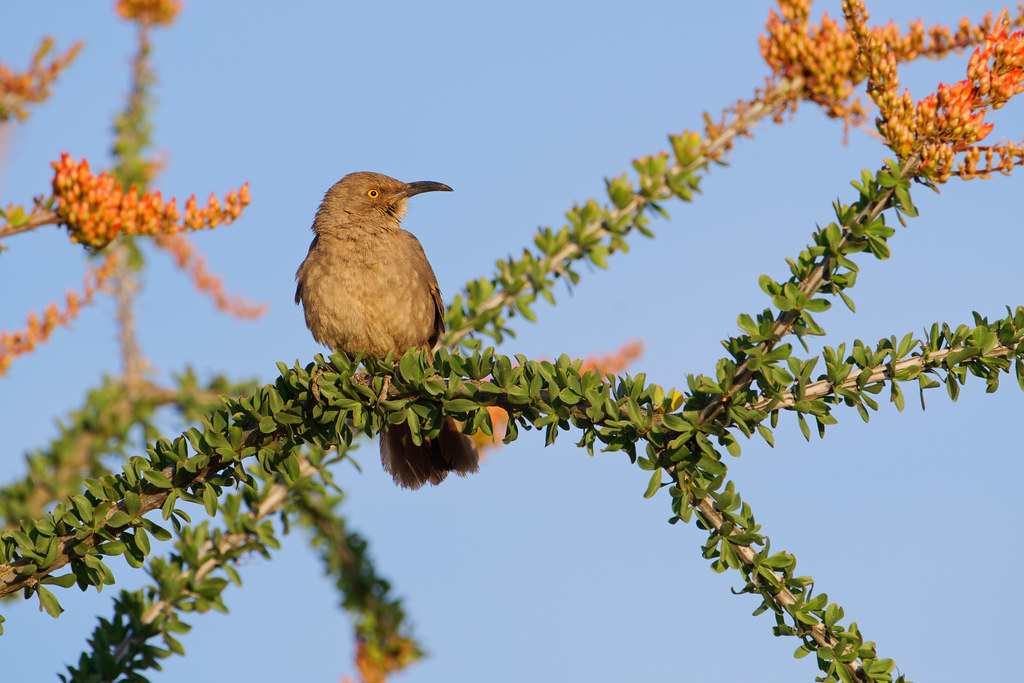 A curve-billed thrasher perches on a leafy branch of a flowering ocotillo in Scottsdale, Arizona on April 11, 2021. Original: _RAC7013.arw