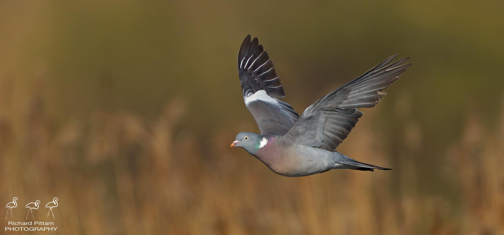Wood Pigeon