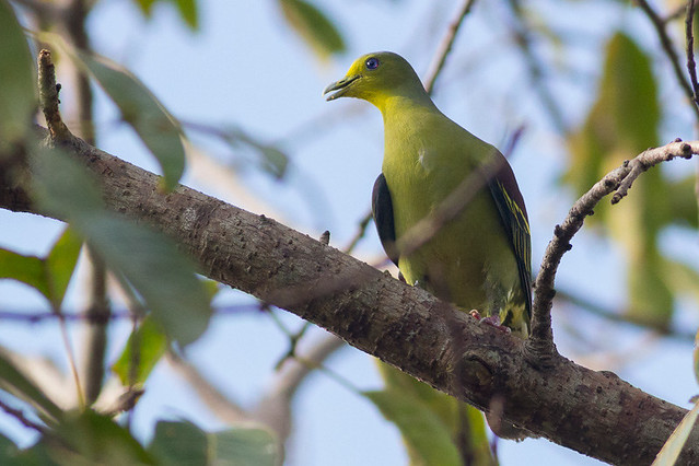 Sri Lanka Green-Pigeon - male