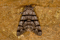 Eastern Panthea Moth