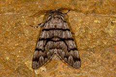Eastern Panthea Moth