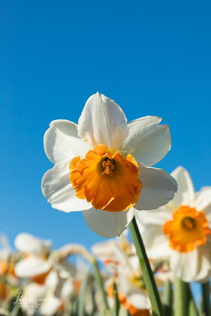 Daffodil [Explore]