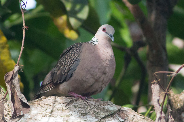 Spotted Dove (Western)