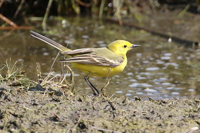 Yellow Wagtail - Elmley NNR IMG_9999_237