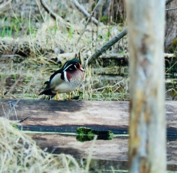 Male Wood duck Tinker Nature Park Henrietta, NY