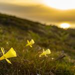 Narcisus on sunset