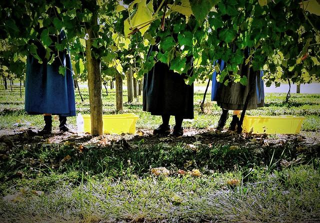 Amish Picking Grapes.
