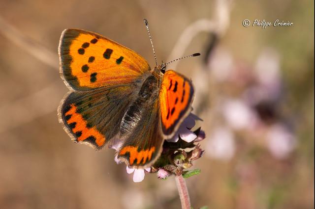 papillon Cuivré commun (le bronzé)