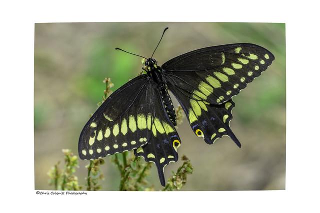 Black Eastern Swallowtail