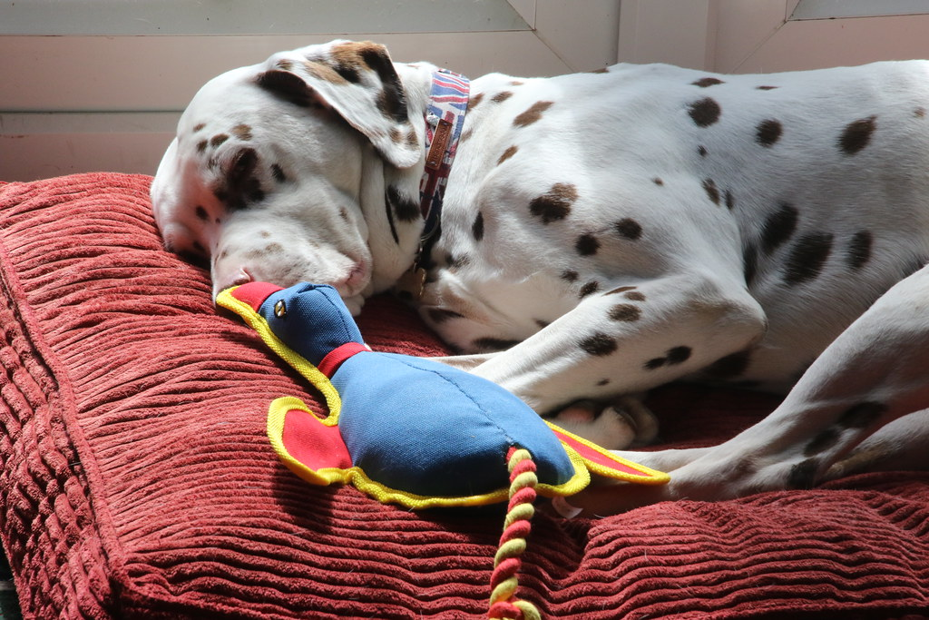 Me and my Duck, Cooper our New Rescue Dalmatian, UK.