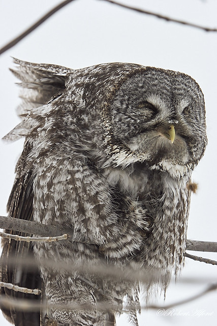 Great Gray Owl7424 1
